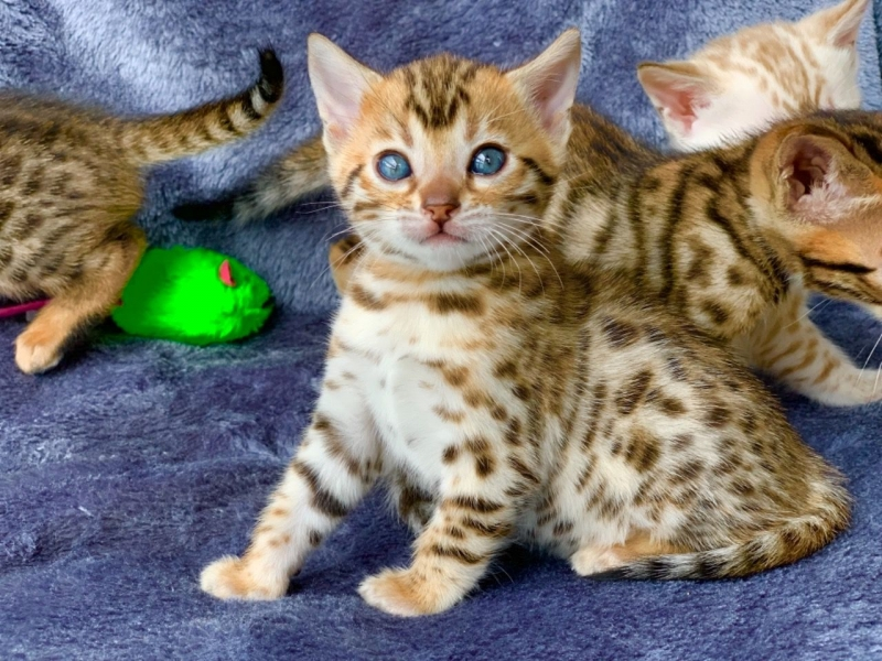 Adorable Chaton Bengal A Donner