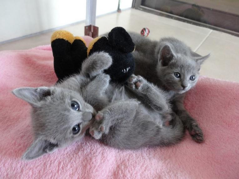 A Donner Chatons Pure Race Chatons Bleus Russes A Donner
